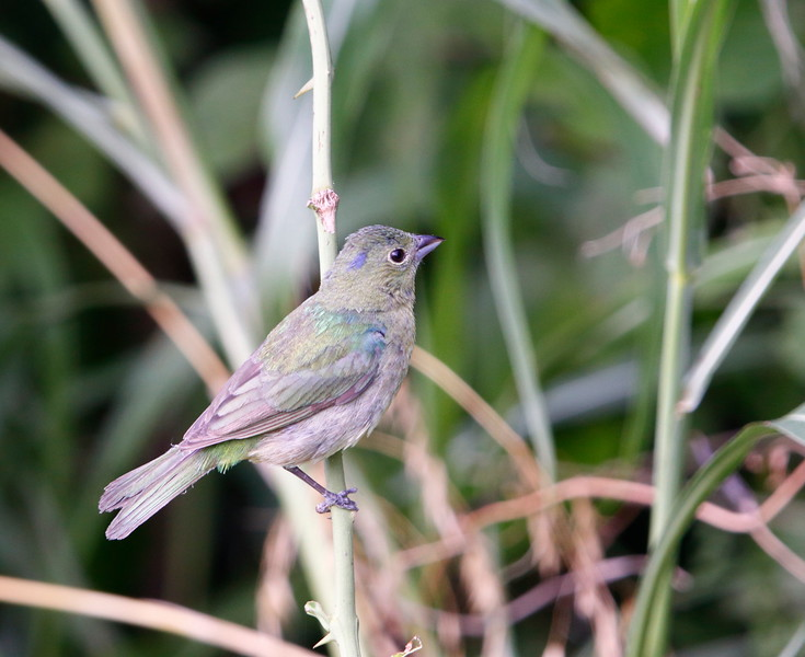 Male Painted Bunting (2nd year)