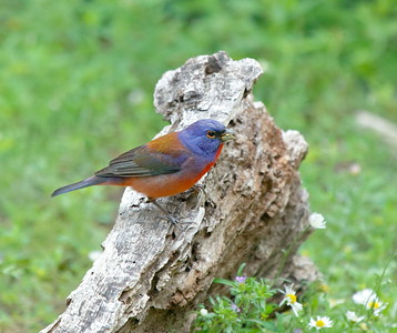 Male Varied x Painted Bunting (hybrid)... Kimble County Tx