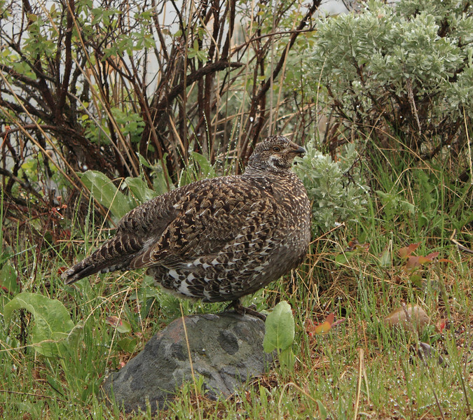Dusky Grouse (Yellowstone NP)