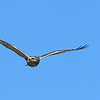 Rough-legged Hawk (Kaufman County)