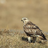 Rough-legged Hawk with a freshly caught rat. (Kaufman County)