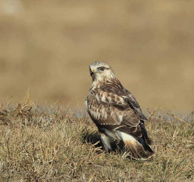 Rough-legged Hawk with a freshly caught rat. (Kaufman County)