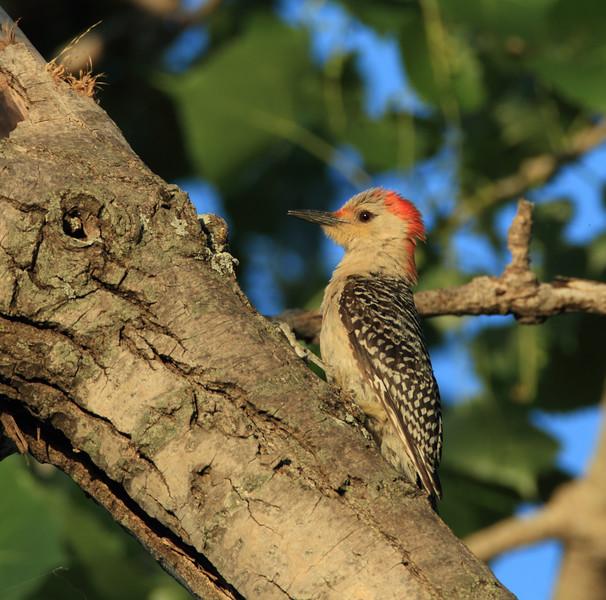 Red-bellied Woodpecker (female)