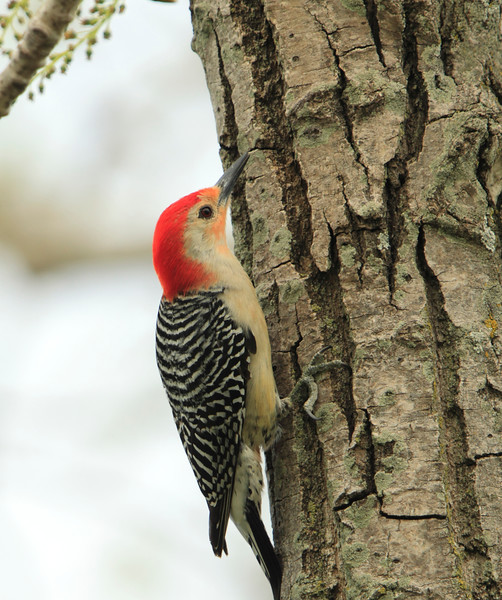 Red-bellied Woodpecker (male)