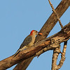 Red-bellied Woodpecker (female)