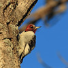 Red-headed Woodpecker (immature)