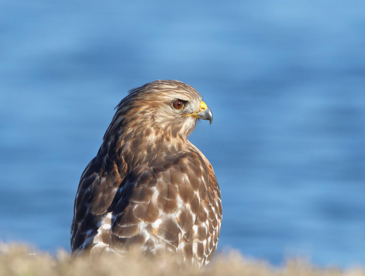 IMAGE: https://photos.smugmug.com/Birds-of-Texas/Redshouldered-Hawk/i-4RnqZ46/0/9e56685b/X2/DK3A9990rsh1-X2.jpg