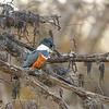Female Ringed Kingfisher