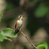 Female Rufous Hummingbird (Rockwall County, TX)