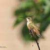 Female Rufous Hummingbird (Rockwall County, TX)
