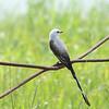 Scissor-tailed Flycatcher (male)