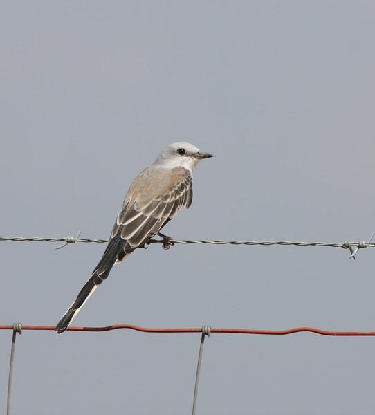 Scissor-tailed Flycatcher (female)