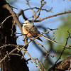 Scissor-tailed Flycatcher (male)