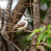 Scissor-tailed Flycatcher (female)