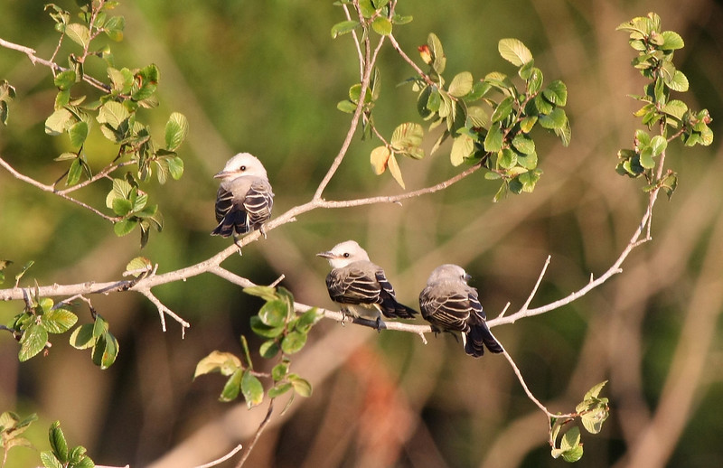 Scissor-tailed Flycatcher chicks