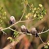 Scissor-tailed Flycatcher chicks
