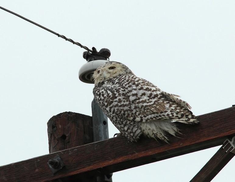 Female Snowy Owl (Rockwall County)