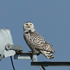 Female Snowy Owl (Rockwall County)