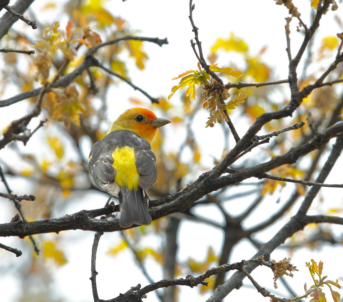 Western Tanager (male)