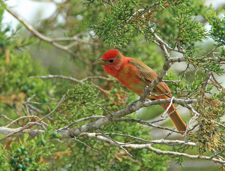 Summer Tanager (first spring male)