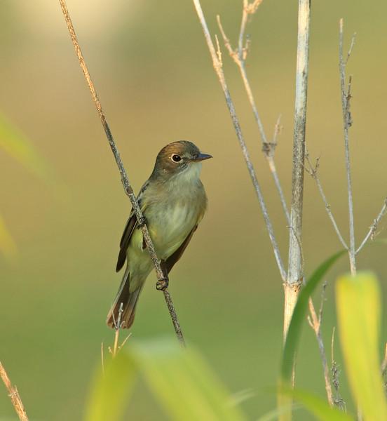Flycatcher (Empidonax genus)