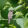 Flycatcher (Empidonax family)
