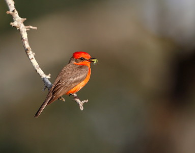 Male Vermilion Flycatcher with prey item.