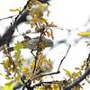 Virginia's Warbler