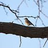 Western Bluebird (female)