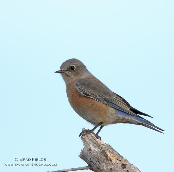 Western Bluebird (female)