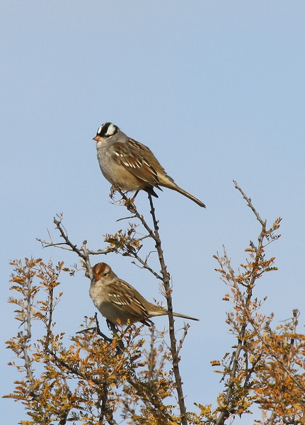 (Adult and 1st winter) White-crowned Sparrows