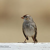 (First winter) White-crowned Sparrow