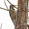 Yellow-bellied Sapsucker (female)