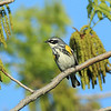 Yellow-rumped Warbler (Myrtle race)