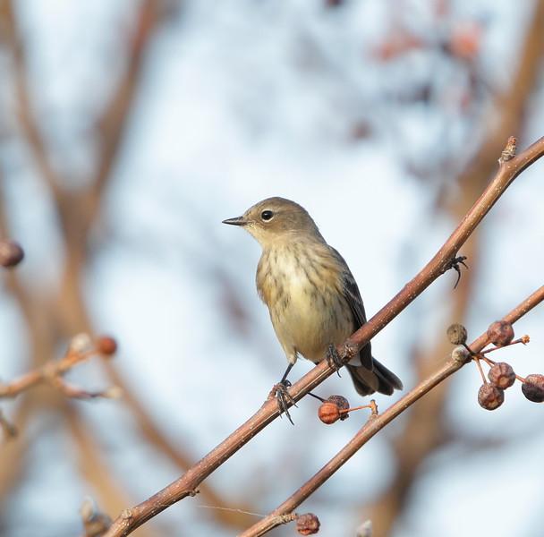 Yellow-rumped Warbler (Myrtle race)