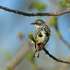 Molting Yellow-rumped Warbler (Myrtle race)