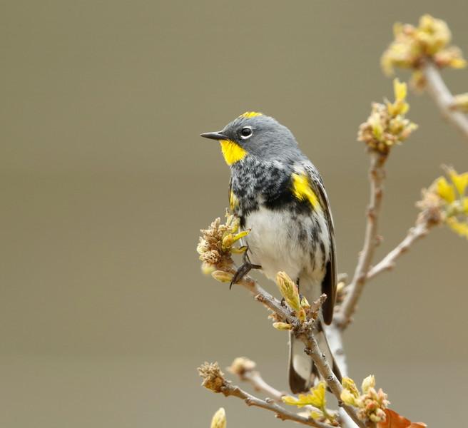 Yellow-rumped Warbler (Audubon's race)
