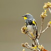 Yellow-rumped Warbler (Audubon's race)