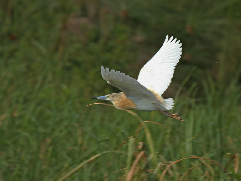 Common Squacco Heron