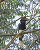 Black and White -casqued Hornbill