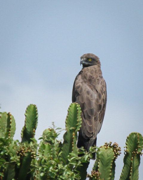 Brown Snake- Eagle