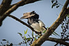 Black and White-casqued Hornbill ( Male)
