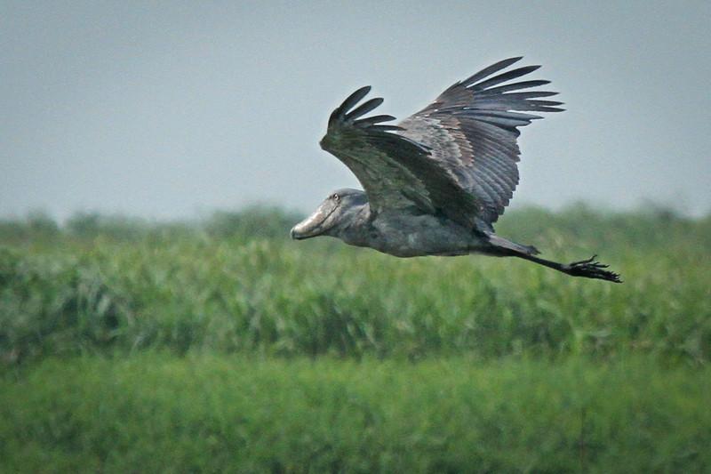 Shoebill in Flight #2