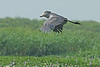 Shoebill in flight