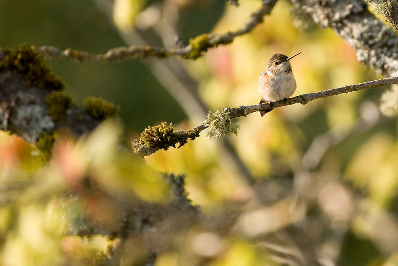 Anna's Hummingbird,  shot just north of Victoria, B.C. off the Malahat Highway in the early morning light.