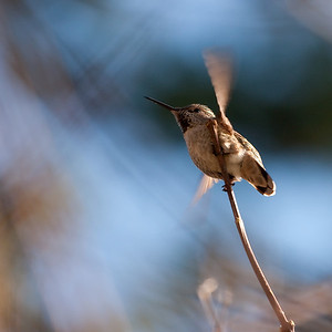 Anna's Hummingbird. (I think)  On a warm january day on the Swan Lake trail.