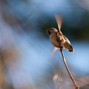 Anna's Hummingbird. (I think)  On a warm january day on the Swan Lake trail.