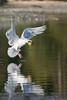 Gull with breakfast - Esquimalt Lagoon.