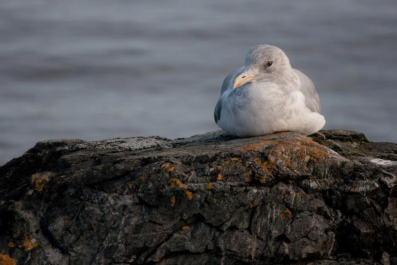 Gull Portrait.