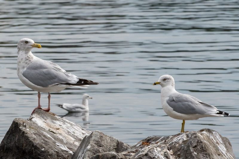 Herring Gull & RIng-billed Gulls